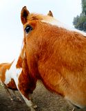 Fisheye horse Royalty Free Stock Image