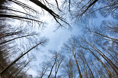 Fisheye image of bald tree tops in wintertime Royalty Free Stock Photography