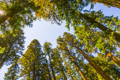 Fisheye image of Sequoia Tree Tops in Sequoia National Park Royalty Free Stock Photography