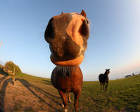 Fisheye lens funny horse Stock Photo