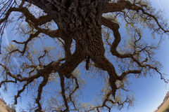 Fisheye Oak Tree Royalty Free Stock Photo