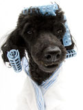 Fisheye Poodle with Curlers. Fisheye portrait of a poodle with blue curlers and a matching bathrobe, isolated on a white background Stock Image