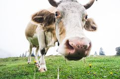 Fisheye schoss von einer weiden lassenden Kuh stockfotografie