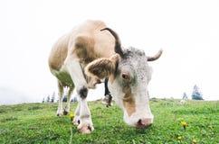 Fisheye schoss von einer weiden lassenden Kuh stockfotos