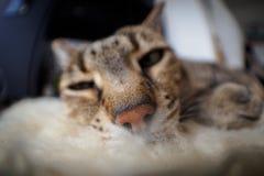 Fisheye shot of Savannah cat. Fisheye shot of a Savannah cat stock photography
