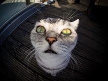 Fisheye strzelał brytyjski shorthair kot zdjęcia royalty free
