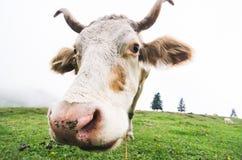 Fisheye a tiré d'une vache de pâturage photographie stock
