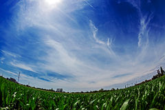 Fisheye view at a cornfield Royalty Free Stock Image
