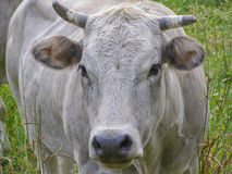 Fisheye view of Cow mammal Royalty Free Stock Images