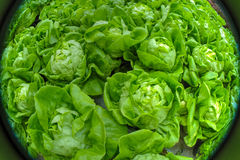Fisheye view of lettuce field Stock Photos