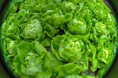 Fisheye view of lettuce field. Fisheye view of rows of lettuce in a farm on Jeju Island, South Korea Stock Photos