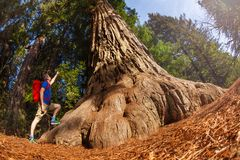 Fisheye view of man pointing at big tree, Redwood Royalty Free Stock Photos