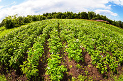 Fisheye view on the potatoes plantation in summer day Stock Photo