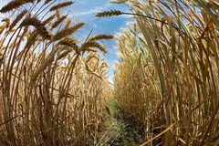 Fisheye view with row of wheat Stock Photo