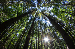 Fisheye view of a tree tops in a dense forest Royalty Free Stock Photo