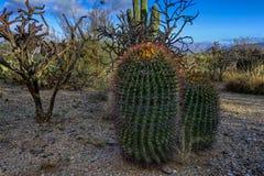 Fishhook barrel cactus. Saguaro national park, az Stock Image