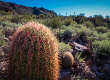 Fishhook Cactus. A Fishhook Cactus in the Arizona dessert Royalty Free Stock Photography