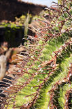 Fishhook Cactus. Growing in the Jardin de Cactus in Lanzarote, Canary Islands Royalty Free Stock Photos