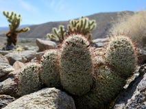 Fishhook Cactus - Mammillaria dioica Stock Photos
