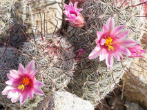 Fishhook Pincushion cactus Flowering in AZ desert Stock Image