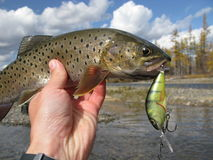 Fishing. (Siberian trout catched on lure Royalty Free Stock Image