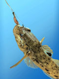 Fishing. Fish on a hook on a blue background Stock Photo