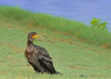 Fishing all Day. Double-Crested Cormorant after a long day of fishing Royalty Free Stock Image