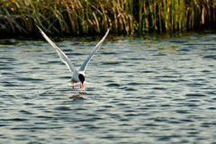 Fishing Arctic Tern Royalty Free Stock Image
