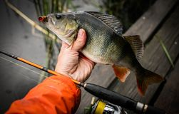 Fishing background. Trophy perch and spinning rod. stock photo