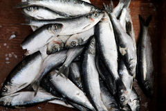 Fishing bait. Iced Herring is shown for sea fishing Royalty Free Stock Image