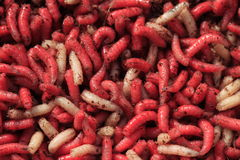 Fishing bait red and white Maggots Royalty Free Stock Images