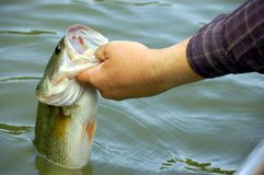 Fishing for bass. Fisherman holding a large mouth bass closeup Stock Photography