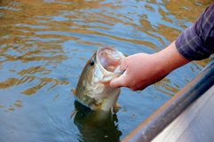 Fishing for bass. Fisherman holding a large mouth bass closeup stock image