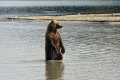 Fishing bear Stock Photo