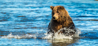 Fishing Bear. Adult Alaskan Coastal Brown Bear aka Grizzly Bear Fishing In Stream Stock Photography