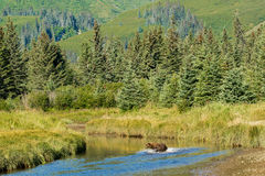 Fishing Bear. Alaskan Coastal Brown Bear aka Grizzly Bear Fishing In Small Stream With Forest In Background Royalty Free Stock Photography