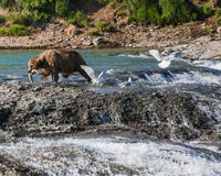 Fishing bear. A bear catches a  salmon, in the summer at McNeil River falls in Alaska Stock Photography
