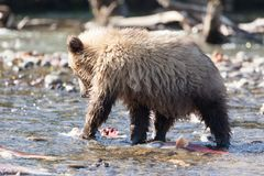 Fishing bear ursus predator close-up. Small cute cub bear grizzly stands with big salmon fish in the river in nature