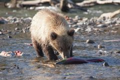 Fishing bear ursus predator close-up. Small cute cub bear grizzly stands with big salmon fish in the riverin naturese