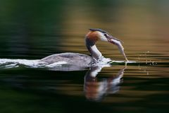 Fishing great crested grebe on a lake in Sweden royalty free stock photos