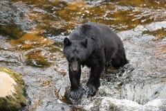 Fishing black bear Stock Photos