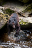 Fishing black bear Royalty Free Stock Photos