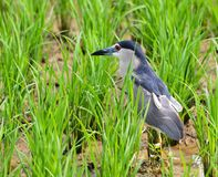 Field heron at Ganjam Orissa stock photos