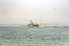 Fishing boat engulfed by flock of hungry seagulls. New England lobster fishing vessel surrounded by seagulls close to the shore. Seals can be seen in the Stock Photography