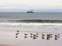 Fishing boat and gulls beach scene OBX NC US. Fish trawler net fishing followed by large flock of seagulls off sand beach with resting Black-legged Kittiwake stock photo