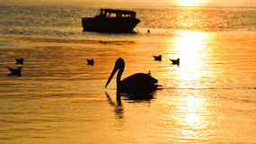 Fishing boat on the sea at sunset. Pelican and seagulls swimming on the sea. Stock Photos