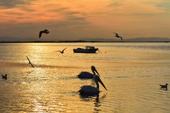 Fishing boat on the sea at sunset. Pelicans swimming and seagulls flying on the sea. Stock Photos