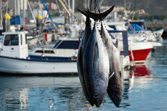Fishing boat unloading tuna Royalty Free Stock Photography