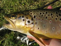 Fishing - brown trout Stock Photos
