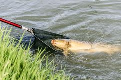 Fishing carp Stock Photography